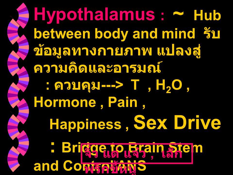 Hypothalamus : ~ Hub between body and mind รับ ข้อมูลทางกายภาพ แปลงสู่ ความคิดและอารมณ์ : ควบคุม ---> T, H 2 O, Hormone, Pain, Happiness, Sex Drive :