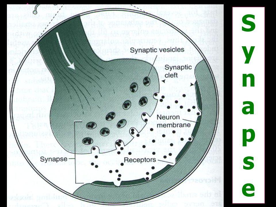 SynapseSynapse