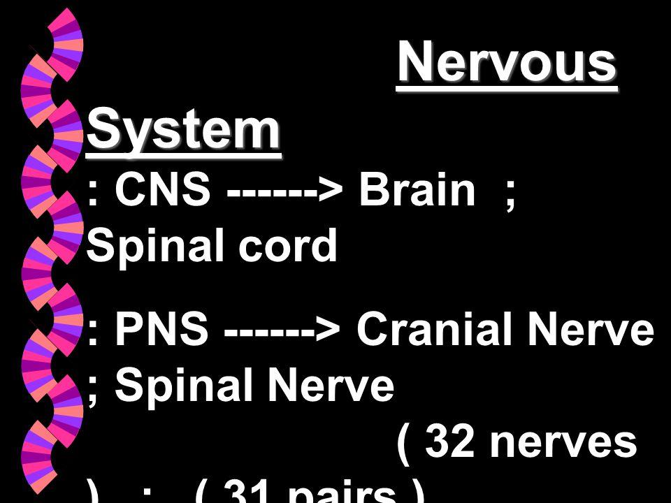 Nervous System Nervous System : CNS ------> Brain ; Spinal cord : PNS ------> Cranial Nerve ; Spinal Nerve ( 32 nerves ) ; ( 31 pairs ) : Autonomic Ne