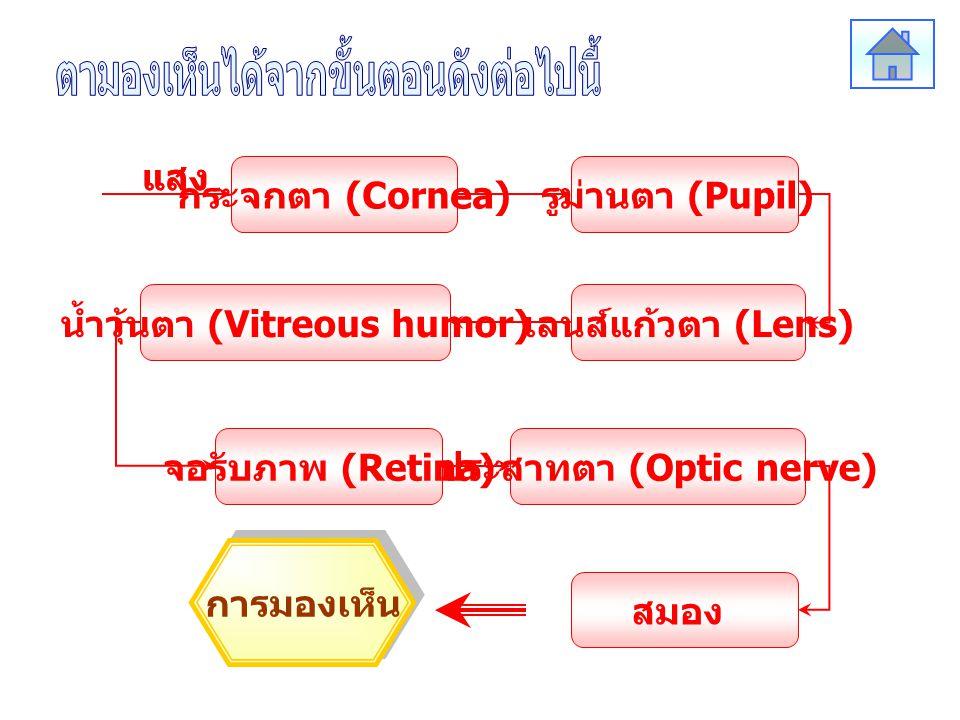 กระจกตา (Cornea) รูม่านตา (Pupil) จอรับภาพ (Retina) เลนส์แก้วตา (Lens) น้ำวุ้นตา (Vitreous humor) ประสาทตา (Optic nerve) สมอง แสง การมองเห็น แสง