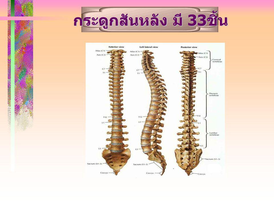 กระดูกสันหลัง มี 33 ชิ้น