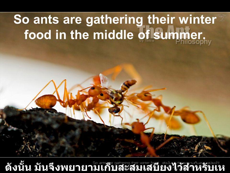 So ants are gathering their winter food in the middle of summer. ดังนั้น มันจึงพยายามเก็บสะสมเสบียงไว้สำหรับเห มันตลอดฤดูคิมหันต์หรรษา