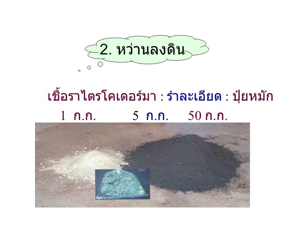 2. หว่านลงดิน เชื้อราไตรโคเดอร์มา : รำละเอียด : ปุ๋ยหมัก 1 ก. ก. 5 ก. ก. 50 ก. ก.