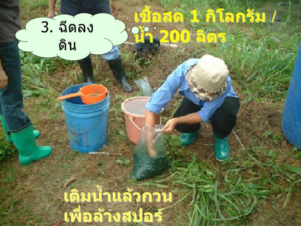 เชื้อสด 1 กิโลกรัม / น้ำ 200 ลิตร เติมน้ำแล้วกวน เพื่อล้างสปอร์ 3. ฉีดลง ดิน