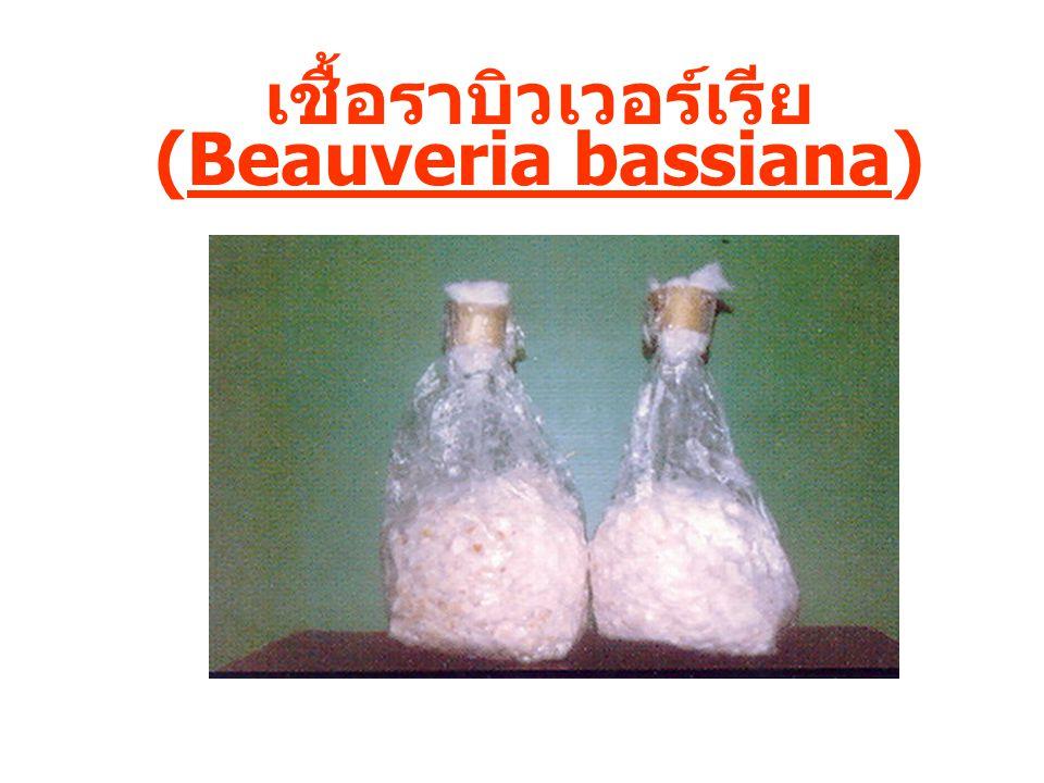 เชื้อราบิวเวอร์เรีย (Beauveria bassiana)