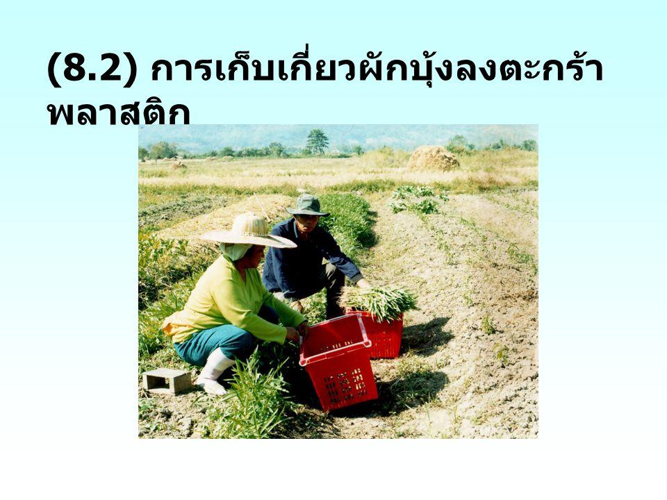 (8.2) การเก็บเกี่ยวผักบุ้งลงตะกร้า พลาสติก