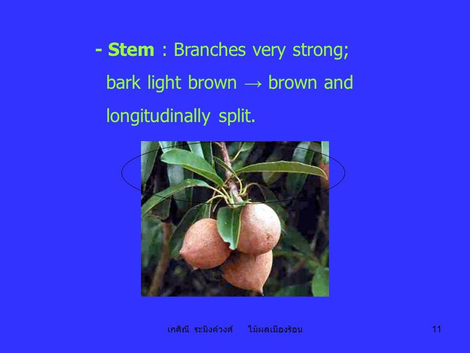 เกศิณี ระมิงค์วงศ์ ไม้ผลเมืองร้อน 11 - Stem : Branches very strong; bark light brown → brown and longitudinally split.