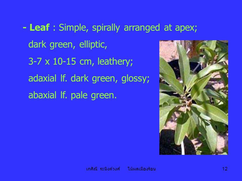 เกศิณี ระมิงค์วงศ์ ไม้ผลเมืองร้อน 12 - Leaf : Simple, spirally arranged at apex; dark green, elliptic, 3-7 x 10-15 cm, leathery; adaxial lf. dark gree