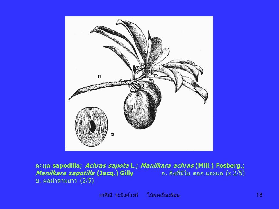 เกศิณี ระมิงค์วงศ์ ไม้ผลเมืองร้อน 18 ละมุด sapodilla; Achras sapota L.; Manilkara achras (Mill.) Fosberg.; Manilkara zapotilla (Jacq.) Gilly ก. กิ่งที