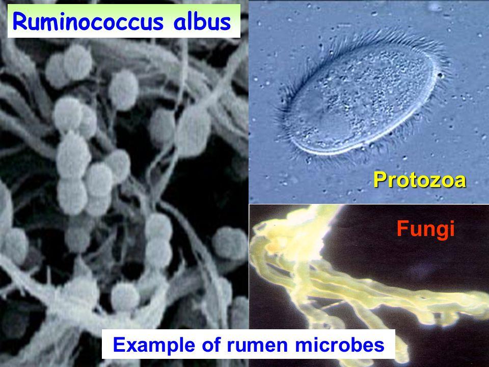 Ruminococcus albus Protozoa Fungi Example of rumen microbes