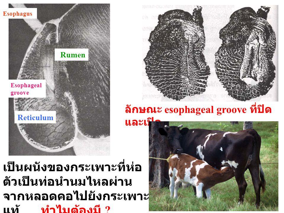 Esophagus Esophageal groove Reticulum Rumen ลักษณะ esophageal groove ที่ปิด และเปิด เป็นผนังของกระเพาะที่ห่อ ตัวเป็นท่อนำนมไหลผ่าน จากหลอดคอไปยังกระเพ