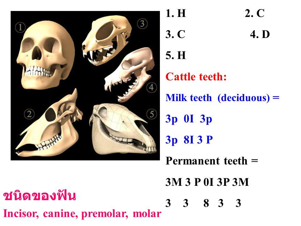 1. H 2. C 3. C 4. D 5. H Cattle teeth: Milk teeth (deciduous) = 3p 0I 3p 3p 8I 3 P Permanent teeth = 3M 3 P 0I 3P 3M 3 3 8 3 3 ชนิดของฟัน Incisor, can