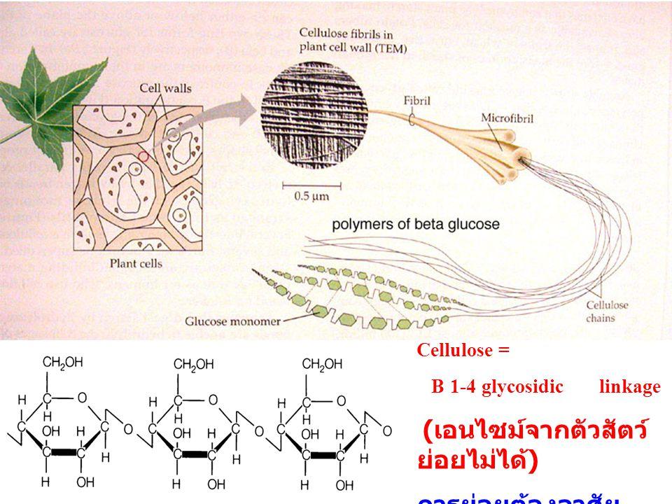 Cellulose = B 1-4 glycosidic linkage ( เอนไซม์จากตัวสัตว์ ย่อยไม่ได้ ) การย่อยต้องอาศัย..................