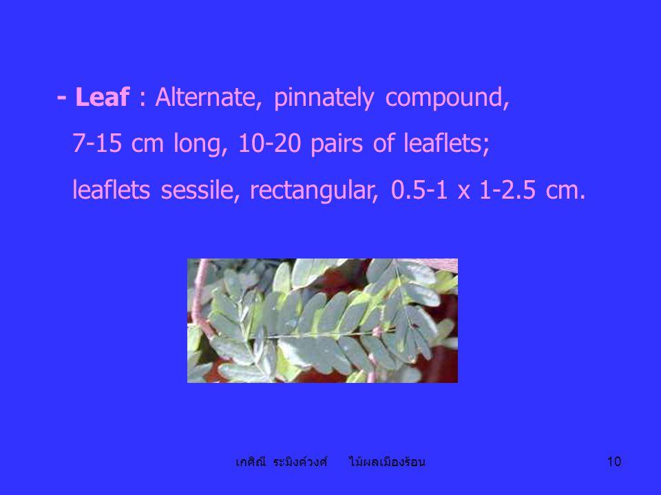 เกศิณี ระมิงค์วงศ์ ไม้ผลเมืองร้อน 10 - Leaf : Alternate, pinnately compound, 7-15 cm long, 10-20 pairs of leaflets; leaflets sessile, rectangular, 0.5