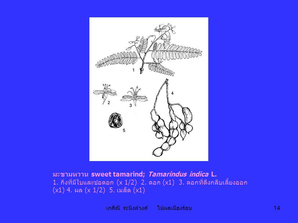 เกศิณี ระมิงค์วงศ์ ไม้ผลเมืองร้อน 14 มะขามหวาน sweet tamarind; Tamarindus indica L. 1. กิ่งที่มีใบและช่อดอก (x 1/2) 2. ดอก (x1) 3. ดอกที่ดึงกลีบเลี้ยง