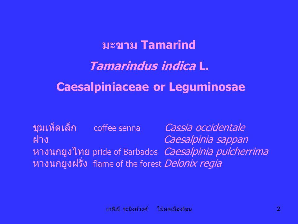 เกศิณี ระมิงค์วงศ์ ไม้ผลเมืองร้อน 2 มะขาม Tamarind Tamarindus indica L. Caesalpiniaceae or Leguminosae ชุมเห็ดเล็ก coffee senna Cassia occidentale ฝาง