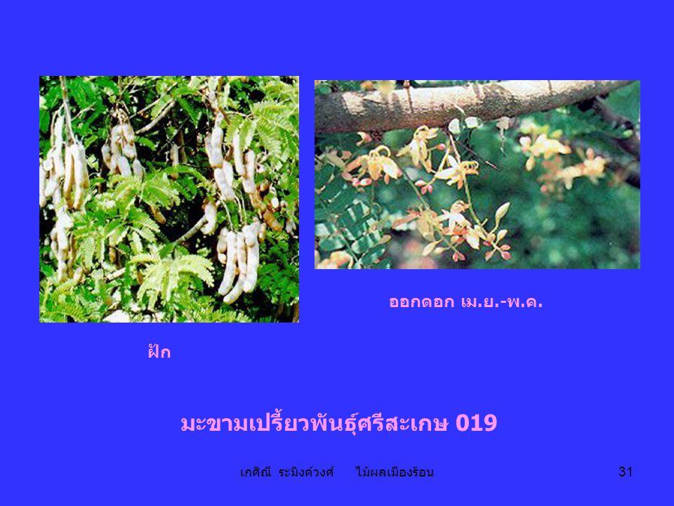 เกศิณี ระมิงค์วงศ์ ไม้ผลเมืองร้อน 31 มะขามเปรี้ยวพันธุ์ศรีสะเกษ 019 ออกดอก เม.ย.-พ.ค. ฝัก