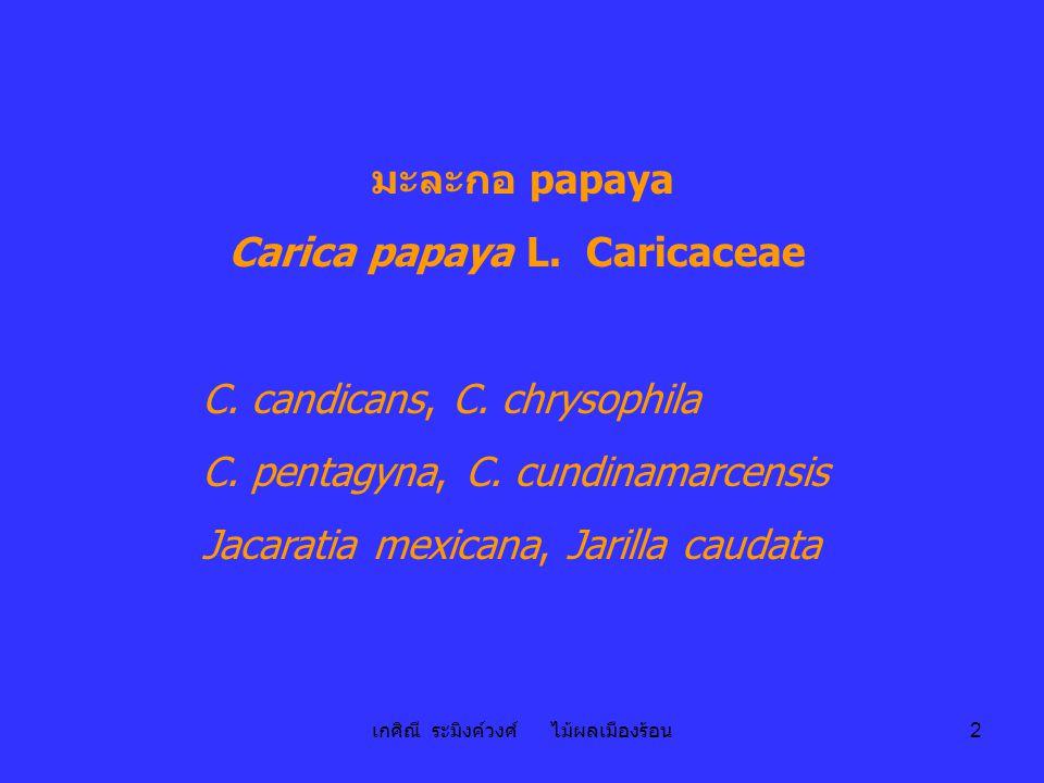 เกศิณี ระมิงค์วงศ์ ไม้ผลเมืองร้อน 2 มะละกอ papaya Carica papaya L. Caricaceae C. candicans, C. chrysophila C. pentagyna, C. cundinamarcensis Jacaratia