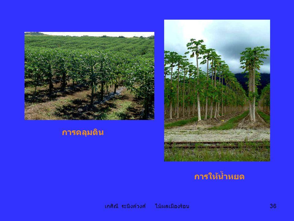 เกศิณี ระมิงค์วงศ์ ไม้ผลเมืองร้อน 36 การคลุมดิน การให้น้ำหยด