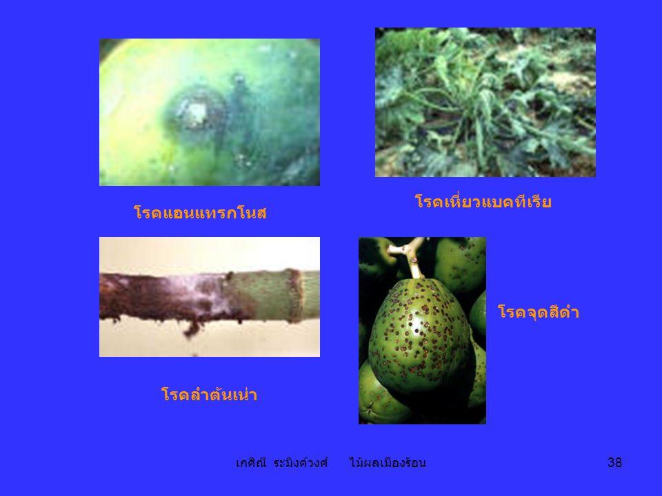 เกศิณี ระมิงค์วงศ์ ไม้ผลเมืองร้อน 38 โรคแอนแทรกโนส โรคเหี่ยวแบคทีเรีย โรคลำต้นเน่า โรคจุดสีดำ