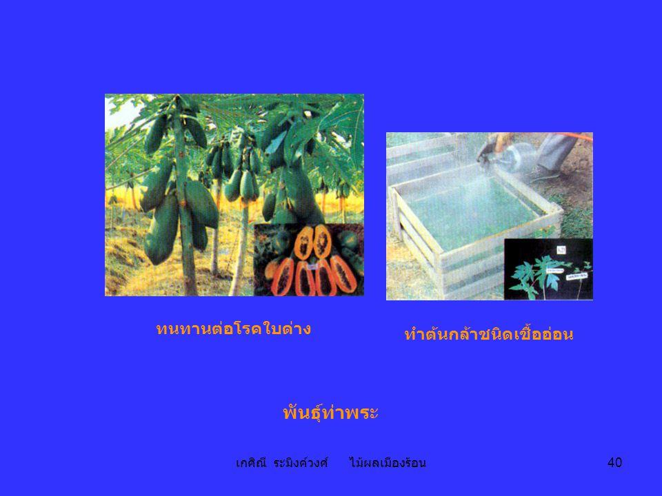 เกศิณี ระมิงค์วงศ์ ไม้ผลเมืองร้อน 40 พันธุ์ท่าพระ ทำต้นกล้าชนิดเชื้ออ่อน ทนทานต่อโรคใบด่าง