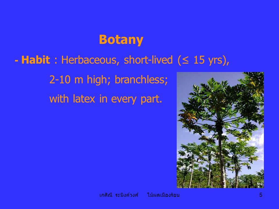 เกศิณี ระมิงค์วงศ์ ไม้ผลเมืองร้อน 5 Botany - Habit : Herbaceous, short-lived (≤ 15 yrs), 2-10 m high; branchless; with latex in every part.