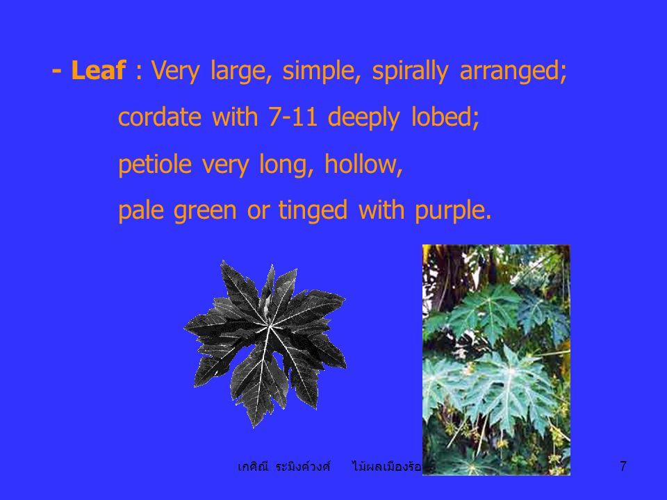 เกศิณี ระมิงค์วงศ์ ไม้ผลเมืองร้อน 7 - Leaf : Very large, simple, spirally arranged; cordate with 7-11 deeply lobed; petiole very long, hollow, pale green or tinged with purple.
