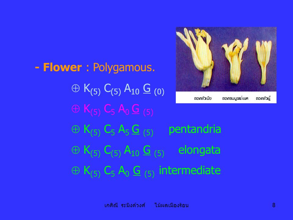 เกศิณี ระมิงค์วงศ์ ไม้ผลเมืองร้อน 8 - Flower : Polygamous.  K (5) C (5) A 10 G (0)  K (5) C 5 A 0 G (5)  K (5) C 5 A 5 G (5) pentandria  K (5) C (