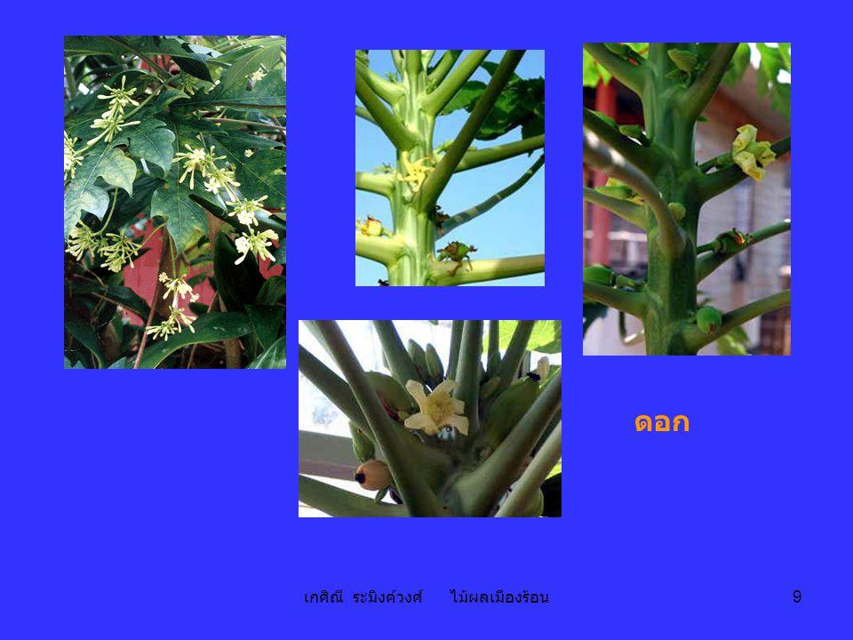 เกศิณี ระมิงค์วงศ์ ไม้ผลเมืองร้อน 10 - Fruit : Berry, 7-10 cm long, up to 7 kg in weight; shape globose, oblong, pyriform; skin green or dark green when young and yellow or orange when ripe; flesh colour yellow, orange or red.