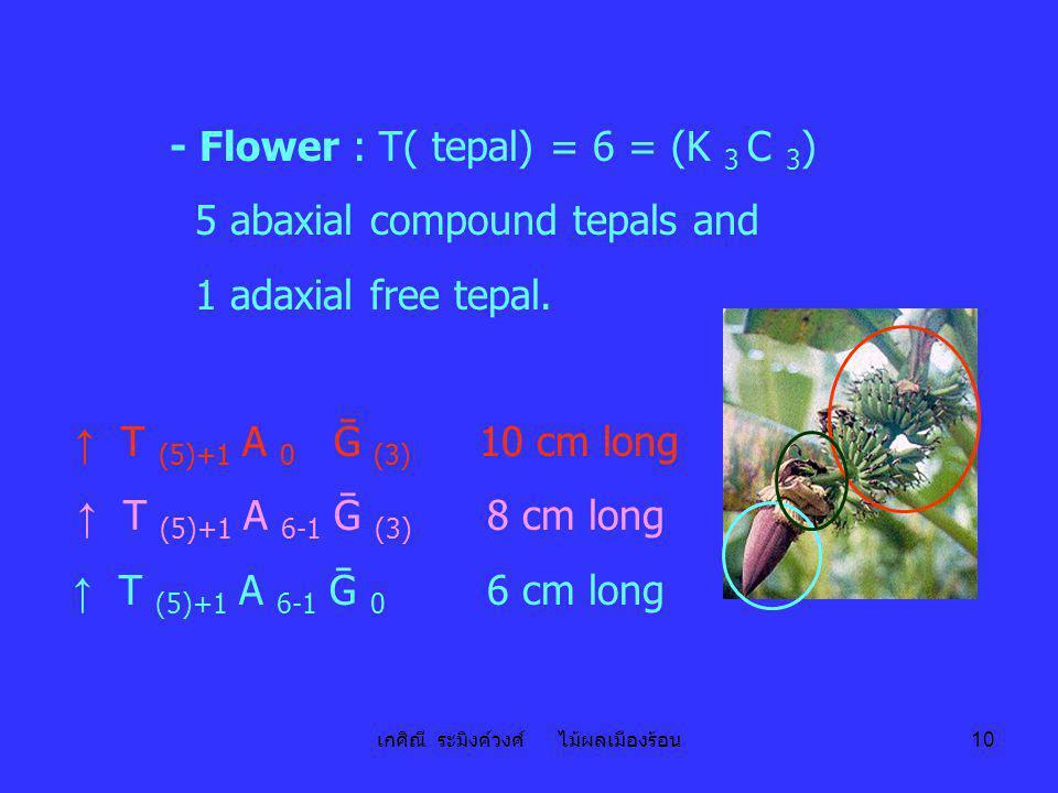 เกศิณี ระมิงค์วงศ์ ไม้ผลเมืองร้อน 10 - Flower : T( tepal) = 6 = (K 3 C 3 ) 5 abaxial compound tepals and 1 adaxial free tepal. ↑ T (5)+1 A 0 Ḡ (3) 10