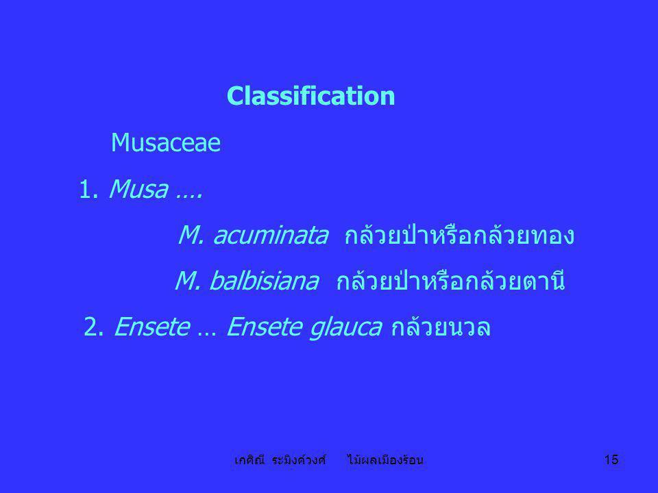 เกศิณี ระมิงค์วงศ์ ไม้ผลเมืองร้อน 15 Classification Musaceae 1. Musa …. M. acuminata กล้วยป่าหรือกล้วยทอง M. balbisiana กล้วยป่าหรือกล้วยตานี 2. Enset