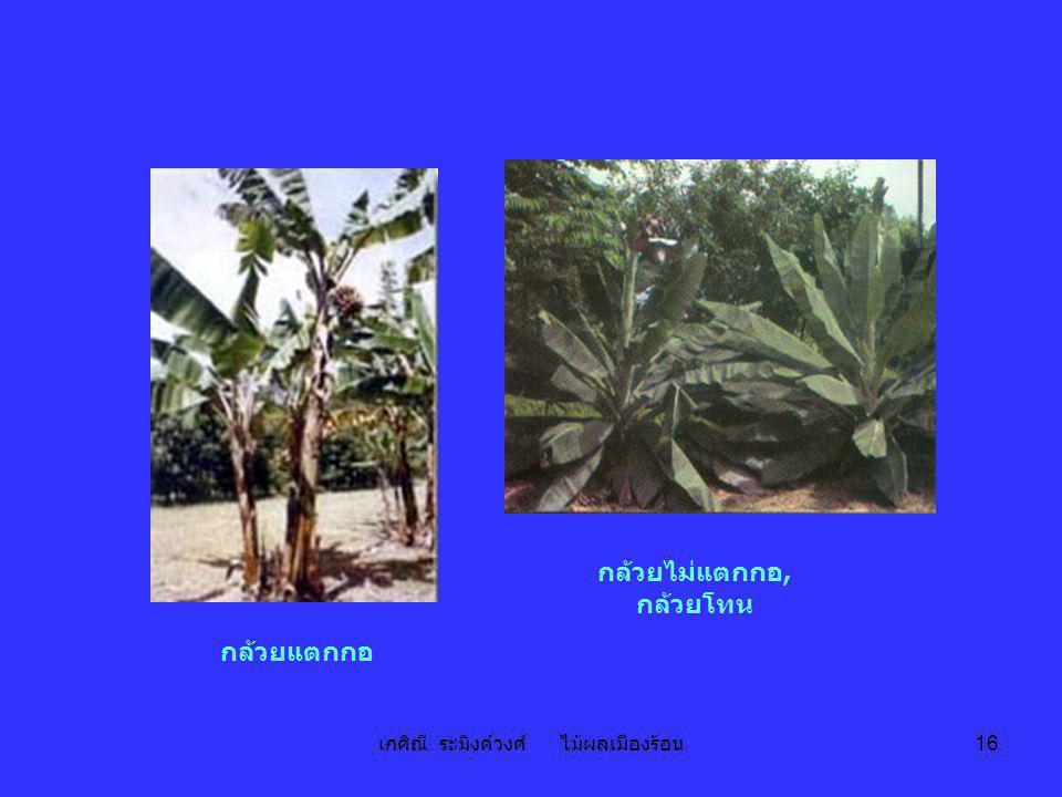 เกศิณี ระมิงค์วงศ์ ไม้ผลเมืองร้อน 16 กล้วยไม่แตกกอ, กล้วยโทน กล้วยแตกกอ