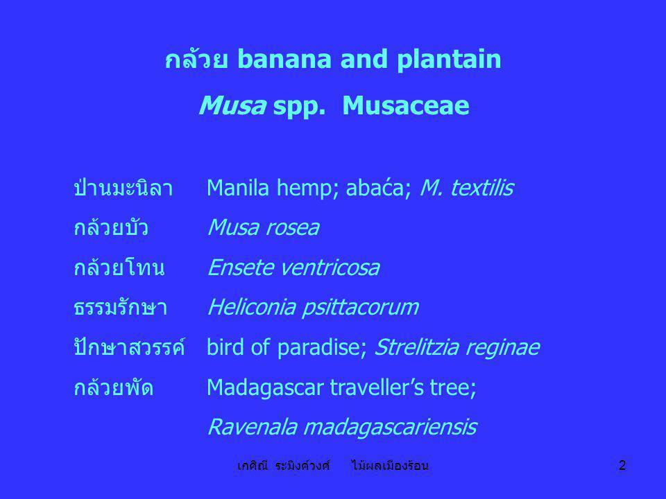 เกศิณี ระมิงค์วงศ์ ไม้ผลเมืองร้อน 23 ตารางที่ 7 ลักษณะที่ใช้ในการจัดจำพวกกล้วยปลูก ลักษณะกล้วยป่าหรือกล้วยทอง (A) กล้วยป่าหรือกล้วยตานี (B) 1.