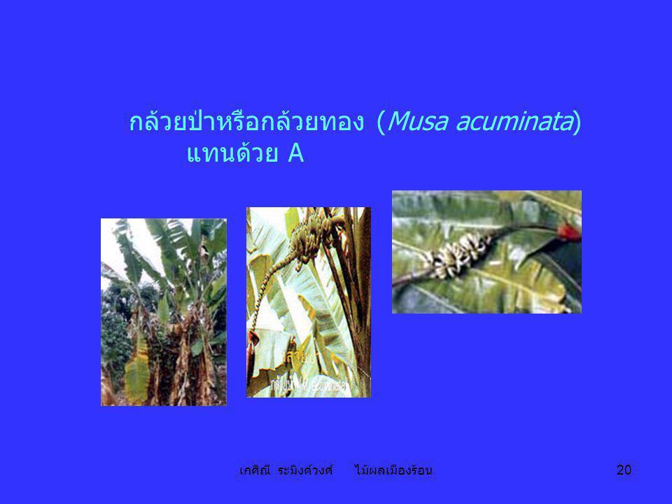 เกศิณี ระมิงค์วงศ์ ไม้ผลเมืองร้อน 20 กล้วยป่าหรือกล้วยทอง (Musa acuminata) แทนด้วย A