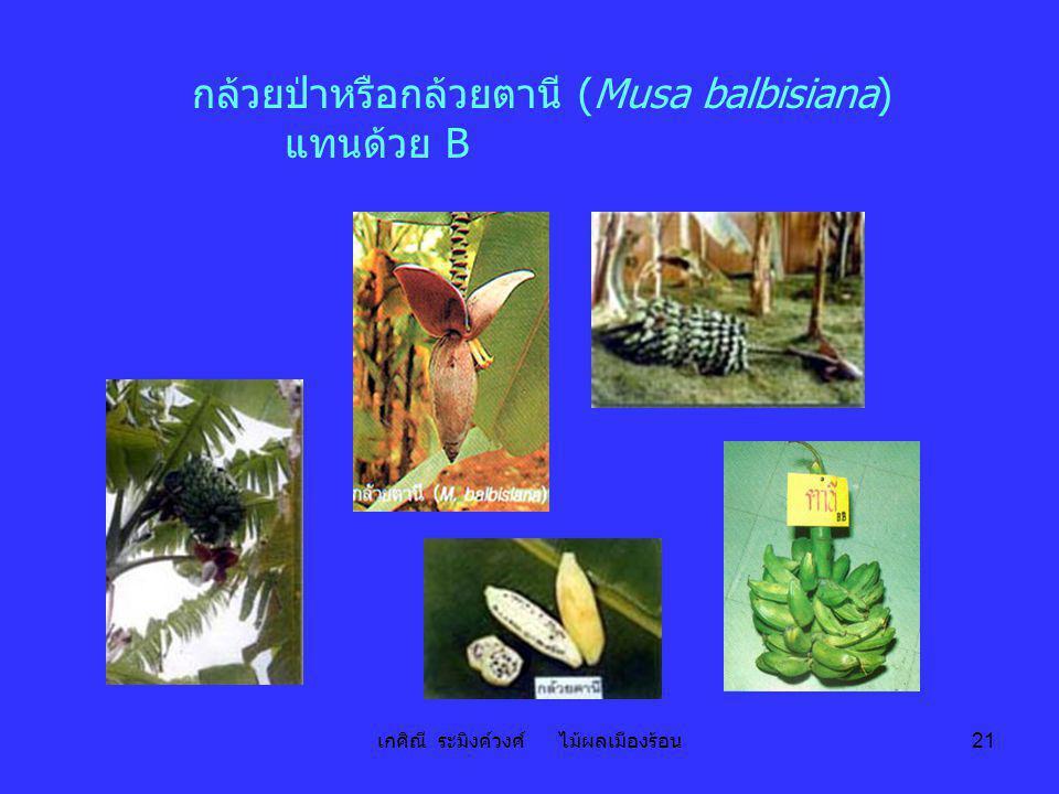 เกศิณี ระมิงค์วงศ์ ไม้ผลเมืองร้อน 21 กล้วยป่าหรือกล้วยตานี (Musa balbisiana) แทนด้วย B