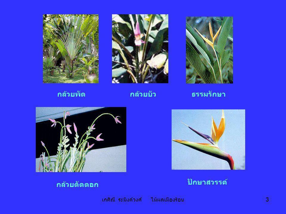 เกศิณี ระมิงค์วงศ์ ไม้ผลเมืองร้อน 24 ตารางที่ 7 ลักษณะที่ใช้ในการจัดจำพวกกล้วยปลูก (ต่อ) ลักษณะ กล้วยป่าหรือกล้วยทอง (A)กล้วยป่าหรือกล้วยตานี (B) 6.
