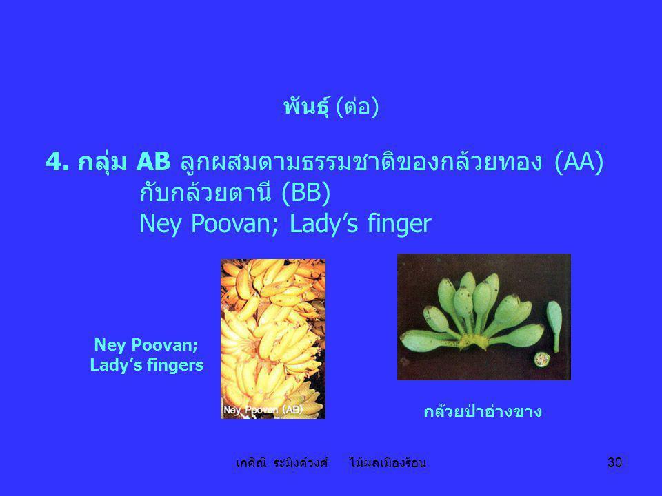 เกศิณี ระมิงค์วงศ์ ไม้ผลเมืองร้อน 30 พันธุ์ (ต่อ) 4. กลุ่ม AB ลูกผสมตามธรรมชาติของกล้วยทอง (AA) กับกล้วยตานี (BB) Ney Poovan; Lady's finger Ney Poovan