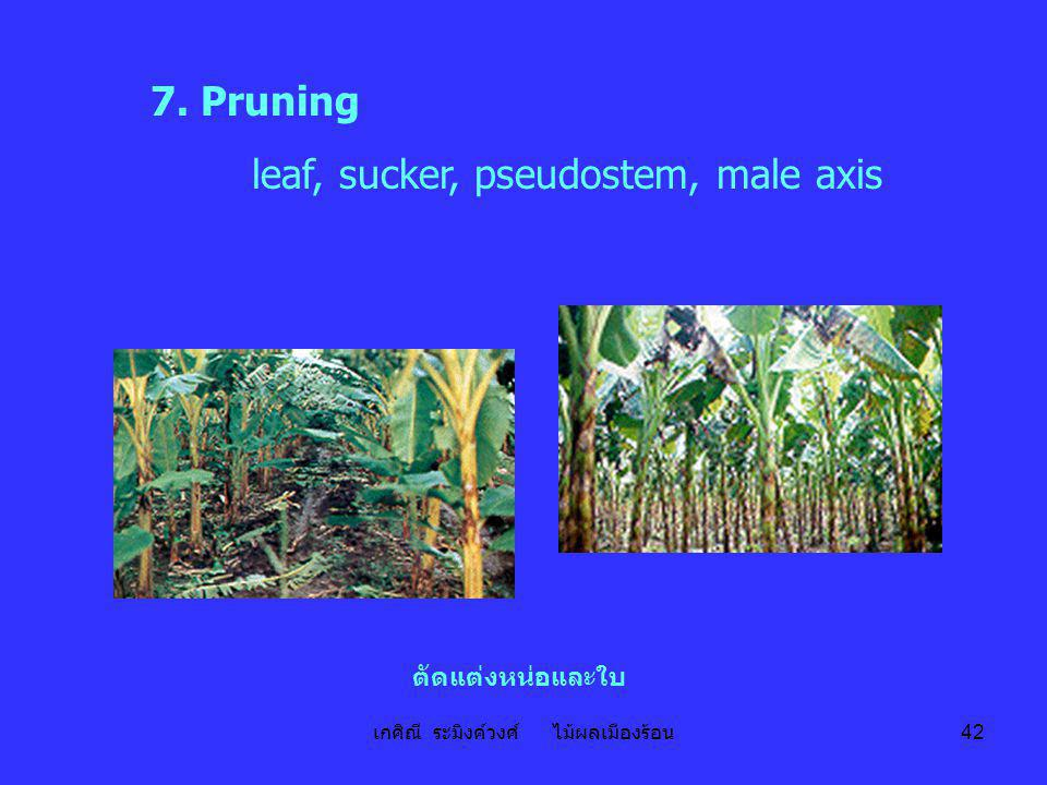 เกศิณี ระมิงค์วงศ์ ไม้ผลเมืองร้อน 42 7. Pruning leaf, sucker, pseudostem, male axis ตัดแต่งหน่อและใบ