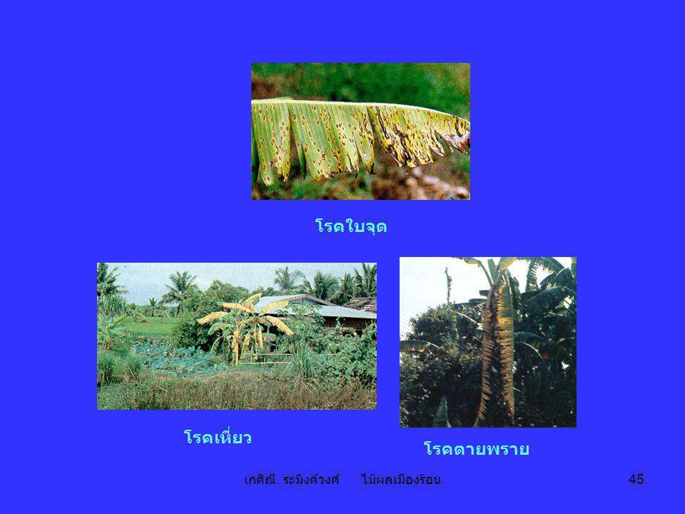 เกศิณี ระมิงค์วงศ์ ไม้ผลเมืองร้อน 45 ห่อผล โรคเหี่ยว โรคใบจุด โรคตายพราย