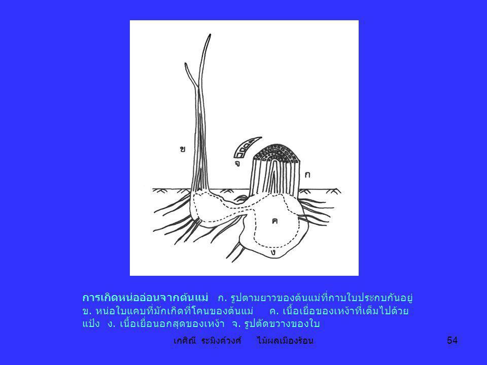 เกศิณี ระมิงค์วงศ์ ไม้ผลเมืองร้อน 54 การเกิดหน่ออ่อนจากต้นแม่ ก. รูปตามยาวของต้นแม่ที่กาบใบประกบกันอยู่ ข. หน่อใบแคบที่มักเกิดที่โคนของต้นแม่ ค. เนื้อ