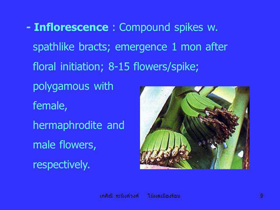 เกศิณี ระมิงค์วงศ์ ไม้ผลเมืองร้อน 9 - Inflorescence : Compound spikes w. spathlike bracts; emergence 1 mon after floral initiation; 8-15 flowers/spike