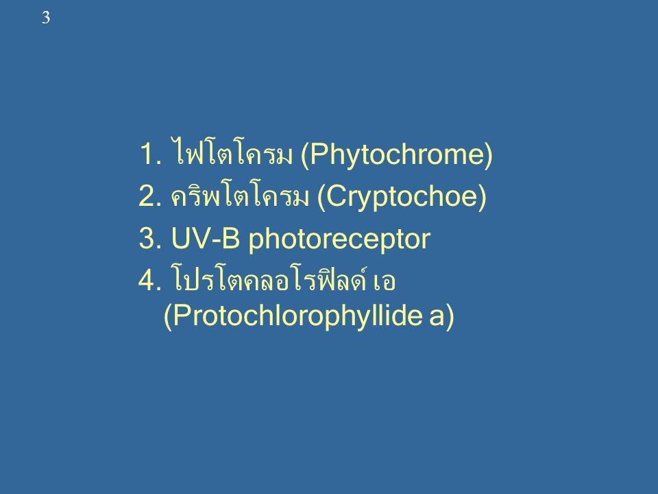 Photomorphogenesis มี 2 ระยะ คือ Pattern specification เป็นระยะที่เซลล์และเนื้อเยื่อพัฒนาให้ มีความสามารถที่จะตอบสนองต่อแสง และ Pattern realization เป็นระยะที่เป็นกระบวนการที่ตอบสนอง ต่อแสง ไฟโตโครม เป็นระยะของสารสี ซึ่งพบทั่วไปในพืช ชั้นสูงและสาหร่ายมีมวลประมาณ 120,000 ดัลตัน พบในปริมาณที่น้อยมากประมาณ 0.1 % ของ โปรตีน ทั้งหมดประกอบด้วยโปรตีนที่มีกลุ่มพรอสทิ ติค (Prosthetic Group) 1 กลุ่ม ซึ่งเป็นเตตราไพ โรลที่เป็นลูกโซ่เปิด (Open-chain tetrapyrrole type) ซึ่งเป็นส่วนที่ดูดแสงได้ 4