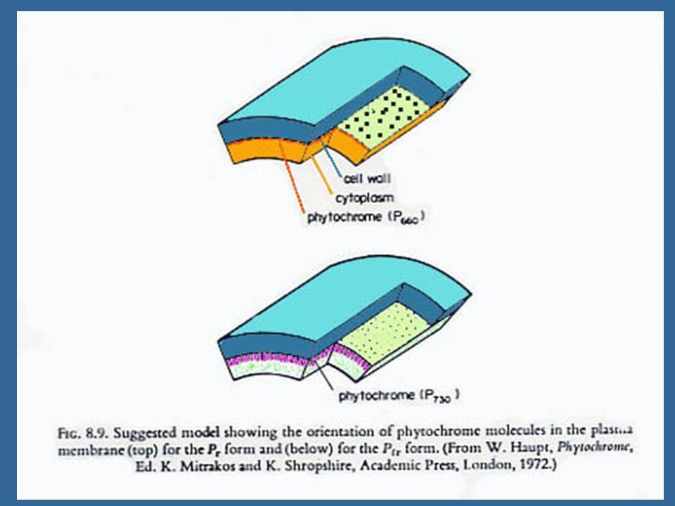 Skotomorphogenesis Photomorphogenesis 1.
