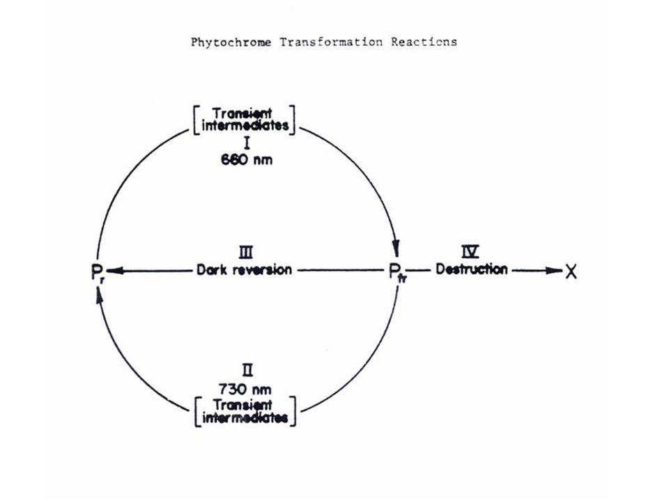 ผลของแสงต่อการเรียงตัวของคลอโรพลาสต์ 13 เมื่อความเข้มของแสงสูง ตามปกติคลอโรพลาสต์จะ เรียงตัวในแนวตรงไปตามรัศมีของผนังเซลล์ เพื่อให้ บังร่มกันเองป้องกันการถูกทำลายจากแสง ในสภาพ แสงความเข้มน้อยหรือในที่มืดคลอโรพลาสต์จะแยก ออกเป็นสองกลุ่มกระจายไปตามผนังเซลล์ที่ใกล้ที่สุด จากแหล่งแสงเพื่อให้ดูดรับแสงให้ได้มากที่สุด 13
