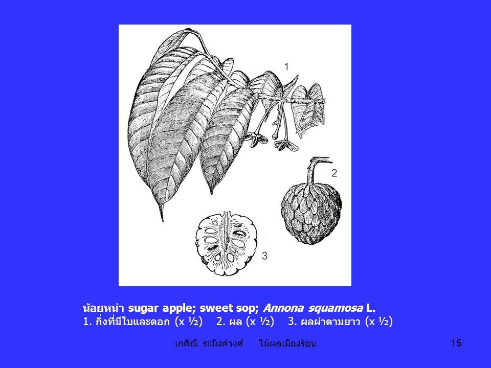 เกศิณี ระมิงค์วงศ์ ไม้ผลเมืองร้อน 15 น้อยหน่า sugar apple; sweet sop; Annona squamosa L. 1. กิ่งที่มีใบและดอก (x ½) 2. ผล (x ½) 3. ผลผ่าตามยาว (x ½)