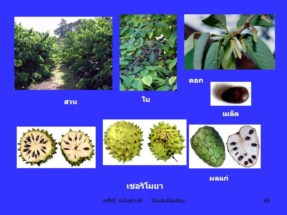 เกศิณี ระมิงค์วงศ์ ไม้ผลเมืองร้อน 45 ผลแก่ ดอก ใบ เชอริโมยา เมล็ด สวน