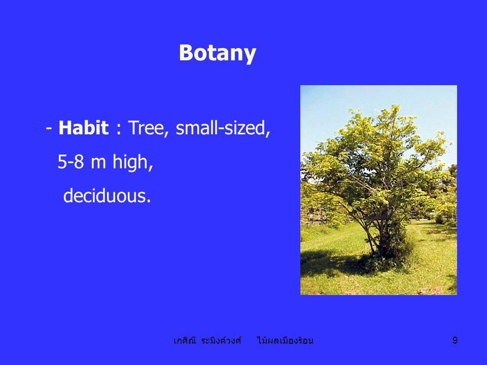 เกศิณี ระมิงค์วงศ์ ไม้ผลเมืองร้อน 10 - Stem : Main stem 30 cm high; 2°, 3°, 4° branches, low-branched; soft wood; bark brown, almost smooth.