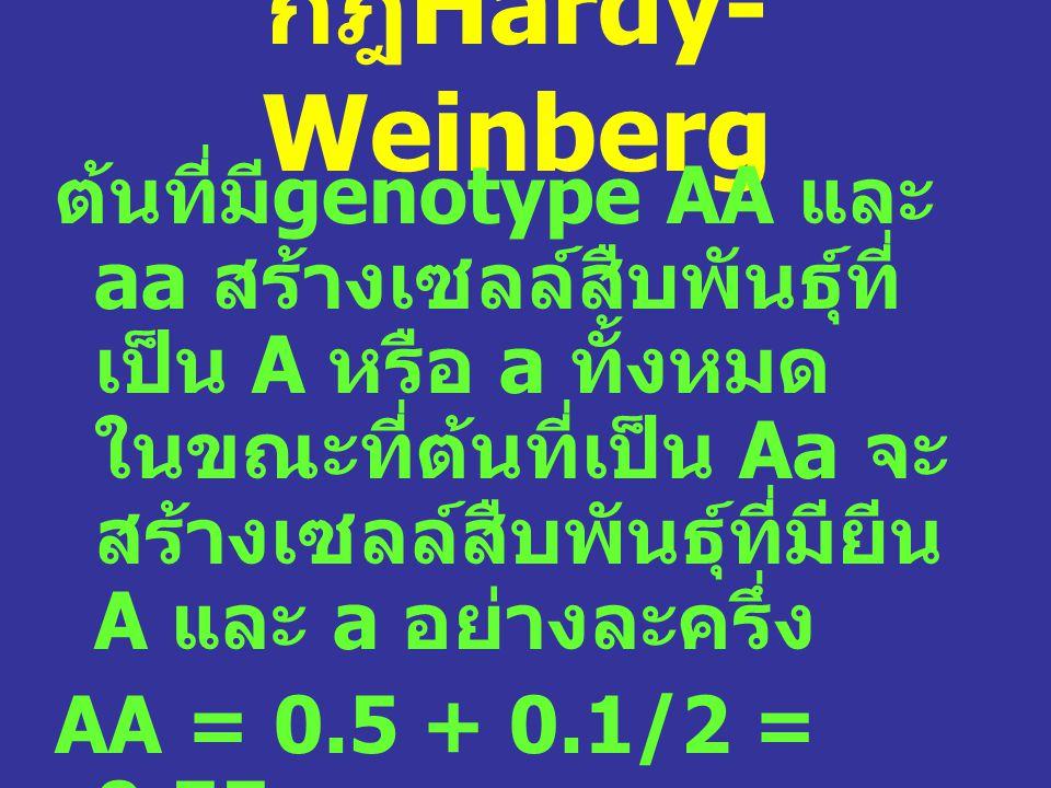 กฎ Hardy- Weinberg ต้นที่มี genotype AA และ aa สร้างเซลล์สืบพันธุ์ที่ เป็น A หรือ a ทั้งหมด ในขณะที่ต้นที่เป็น Aa จะ สร้างเซลล์สืบพันธุ์ที่มียีน A และ