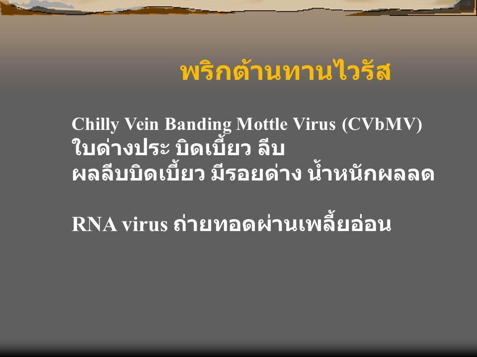 พริกต้านทานไวรัส Chilly Vein Banding Mottle Virus (CVbMV) ใบด่างประ บิดเบี้ยว ลีบ ผลลีบบิดเบี้ยว มีรอยด่าง น้ำหนักผลลด RNA virus ถ่ายทอดผ่านเพลี้ยอ่อน
