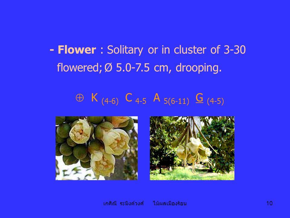 เกศิณี ระมิงค์วงศ์ ไม้ผลเมืองร้อน 10 - Flower : Solitary or in cluster of 3-30 flowered;Ø 5.0-7.5 cm, drooping.  K (4-6) C 4-5 A 5(6-11) G (4-5)